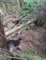 Ursoaică şi doi pui, găsiţi morţi pe fondul cinegetic nr. 4 Buciniş